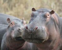 Κινηματογράφηση σε πρώτο πλάνο των κεφαλιών δύο hippos των διαφορετικών μεγεθών που στέκονται στο έδαφος Στοκ φωτογραφία με δικαίωμα ελεύθερης χρήσης