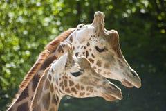 Κινηματογράφηση σε πρώτο πλάνο των κεφαλιών giraf Στοκ Φωτογραφία