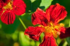 Κινηματογράφηση σε πρώτο πλάνο των κόκκινων/πορτοκαλιών λουλουδιών στον κήπο/τη μακροεντολή του κόκκινου/πορτοκαλιού λουλουδιού σ Στοκ εικόνα με δικαίωμα ελεύθερης χρήσης
