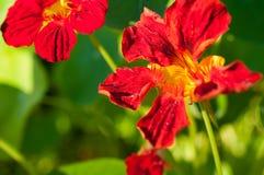 Κινηματογράφηση σε πρώτο πλάνο των κόκκινων/πορτοκαλιών λουλουδιών στον κήπο/τη μακροεντολή του κόκκινου/πορτοκαλιού λουλουδιού σ Στοκ φωτογραφία με δικαίωμα ελεύθερης χρήσης