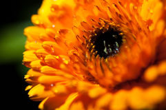 Κινηματογράφηση σε πρώτο πλάνο των κόκκινων/πορτοκαλιών λουλουδιών στον κήπο/τη μακροεντολή του κόκκινου/πορτοκαλιού λουλουδιού σ Στοκ εικόνες με δικαίωμα ελεύθερης χρήσης