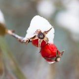 Κινηματογράφηση σε πρώτο πλάνο των κόκκινων ροδαλών ισχίων μούρων που καλύπτονται από το πρώτο χιόνι Χριστούγεννα θέματος, νέο έτ Στοκ Φωτογραφία