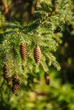 Κινηματογράφηση σε πρώτο πλάνο των κώνων πεύκων σε ένα δέντρο Στοκ φωτογραφία με δικαίωμα ελεύθερης χρήσης