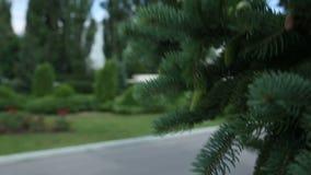 Κινηματογράφηση σε πρώτο πλάνο των κλάδων δέντρων πεύκων ή του FIR που κινούνται στον αέρα φιλμ μικρού μήκους