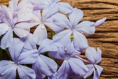 Κινηματογράφηση σε πρώτο πλάνο των μπλε λουλουδιών plumbago στο ξύλινο υπόβαθρο Στοκ φωτογραφία με δικαίωμα ελεύθερης χρήσης