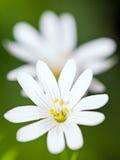 Κινηματογράφηση σε πρώτο πλάνο των ξύλινων λουλουδιών anemone (nemorosa Anemone) Στοκ εικόνες με δικαίωμα ελεύθερης χρήσης