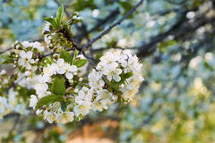 Κινηματογράφηση σε πρώτο πλάνο των λουλουδιών κερασιών ανασκόπηση που θολώνεται προαστιακός περίπατος άνοιξη ημέρας δασικός Στοκ Εικόνα