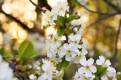Κινηματογράφηση σε πρώτο πλάνο των λουλουδιών κερασιών ανασκόπηση που θολώνεται προαστιακός περίπατος άνοιξη ημέρας δασικός Στοκ φωτογραφία με δικαίωμα ελεύθερης χρήσης
