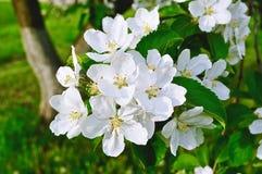 Κινηματογράφηση σε πρώτο πλάνο των λουλουδιών μήλων άνοιξη στο άνθος - floral υπόβαθρο άνοιξη Στοκ Εικόνες