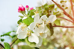 Κινηματογράφηση σε πρώτο πλάνο των λουλουδιών μήλων άνοιξη στο άνθος - floral υπόβαθρο άνοιξη Στοκ φωτογραφία με δικαίωμα ελεύθερης χρήσης