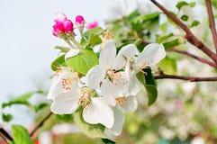 Κινηματογράφηση σε πρώτο πλάνο των λουλουδιών μήλων άνοιξη στο άνθος - floral υπόβαθρο άνοιξη Στοκ Φωτογραφίες