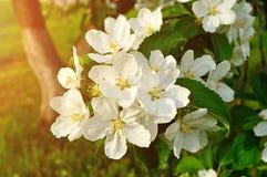 Κινηματογράφηση σε πρώτο πλάνο των λουλουδιών μήλων άνοιξη στο άνθος - floral υπόβαθρο άνοιξη Στοκ εικόνες με δικαίωμα ελεύθερης χρήσης