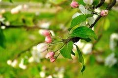 Κινηματογράφηση σε πρώτο πλάνο των λουλουδιών μήλων άνοιξη στο άνθος - floral υπόβαθρο άνοιξη Στοκ φωτογραφίες με δικαίωμα ελεύθερης χρήσης