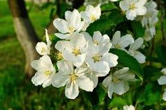 Κινηματογράφηση σε πρώτο πλάνο των λουλουδιών μήλων άνοιξη στο άνθος - floral υπόβαθρο άνοιξη Στοκ Φωτογραφία