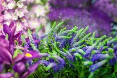 Κινηματογράφηση σε πρώτο πλάνο των λουλουδιών στην πορφύρα Στοκ φωτογραφίες με δικαίωμα ελεύθερης χρήσης