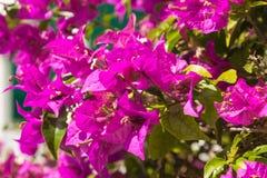 Κινηματογράφηση σε πρώτο πλάνο των λουλουδιών Bougainvillea Στοκ Εικόνες
