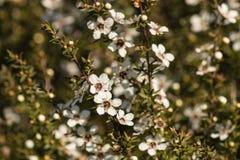 Κινηματογράφηση σε πρώτο πλάνο των λουλουδιών manuka Στοκ φωτογραφία με δικαίωμα ελεύθερης χρήσης