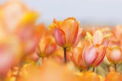 Κινηματογράφηση σε πρώτο πλάνο των πορτοκαλιών, κόκκινων και κίτρινων τουλιπών στον ολλανδικό τομέα λουλουδιών Στοκ Φωτογραφία