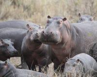 Κινηματογράφηση σε πρώτο πλάνο των πολλαπλάσιων hippos των διαφορετικών μεγεθών που στέκονται στο έδαφος Στοκ Εικόνες
