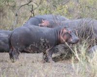 Κινηματογράφηση σε πρώτο πλάνο των πολλαπλάσιων hippos των διαφορετικών μεγεθών που στέκονται στο έδαφος Στοκ φωτογραφίες με δικαίωμα ελεύθερης χρήσης