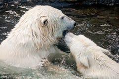 Κινηματογράφηση σε πρώτο πλάνο των πολικών αρκουδών στο νερό Στοκ Εικόνα