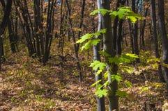 Κινηματογράφηση σε πρώτο πλάνο των πράσινων φύλλων από τον ενιαίο σφένδαμνο το φθινόπωρο fores Στοκ Εικόνα