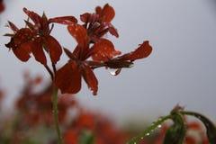 Κινηματογράφηση σε πρώτο πλάνο των πτώσεων νερού στο κόκκινο λουλούδι Στοκ Εικόνες