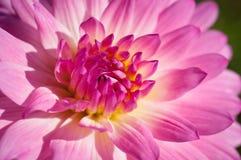 Κινηματογράφηση σε πρώτο πλάνο των ρόδινων & κίτρινων λουλουδιών στον κήπο/τη μακροεντολή του ρόδινου & κίτρινου λουλουδιού στο δ Στοκ εικόνες με δικαίωμα ελεύθερης χρήσης