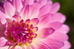 Κινηματογράφηση σε πρώτο πλάνο των ρόδινων & κίτρινων λουλουδιών στον κήπο/τη μακροεντολή του ρόδινου & κίτρινου λουλουδιού στο δ Στοκ Εικόνα