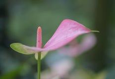 Κινηματογράφηση σε πρώτο πλάνο των ρόδινων φλεμένος Anthurium κρίνων λουλουδιών andraeanum Στοκ φωτογραφίες με δικαίωμα ελεύθερης χρήσης