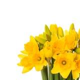 Κινηματογράφηση σε πρώτο πλάνο των φρέσκων λουλουδιών ναρκίσσων άνοιξη Στοκ Φωτογραφίες