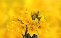 Κινηματογράφηση σε πρώτο πλάνο των φρέσκων λουλουδιών ναρκίσσων άνοιξη Στοκ Εικόνα