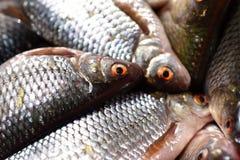 Κινηματογράφηση σε πρώτο πλάνο των φρέσκων ψαριών στην αγορά ψαριών Στοκ Φωτογραφία