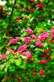 Κινηματογράφηση σε πρώτο πλάνο των φωτεινών ρόδινων λουλουδιών του ανθίζοντας θάμνου κραταίγου Στοκ φωτογραφία με δικαίωμα ελεύθερης χρήσης