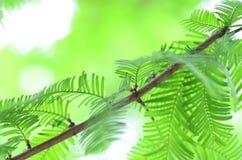 Κινηματογράφηση σε πρώτο πλάνο των φύλλων metasequoia Στοκ Φωτογραφία