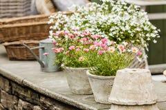 Κινηματογράφηση σε πρώτο πλάνο των όμορφων άσπρων ρόδινων λουλουδιών, μαργαρίτες Στοκ Εικόνα