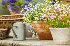 Κινηματογράφηση σε πρώτο πλάνο των όμορφων άσπρων ρόδινων λουλουδιών, μαργαρίτες Στοκ φωτογραφία με δικαίωμα ελεύθερης χρήσης