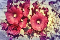 Κινηματογράφηση σε πρώτο πλάνο των όμορφων malva λουλουδιών στοκ εικόνα