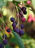 Κινηματογράφηση σε πρώτο πλάνο των bluberries Στοκ Φωτογραφίες