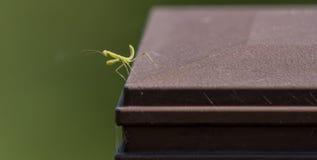 Κινηματογράφηση σε πρώτο πλάνο των mantis επίκλησης μωρών που θέτει για τη κάμερα Στοκ Εικόνες