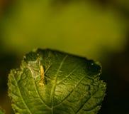Κινηματογράφηση σε πρώτο πλάνο των mantis επίκλησης μωρών που θέτει για τη κάμερα Στοκ φωτογραφία με δικαίωμα ελεύθερης χρήσης