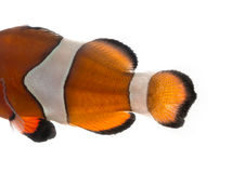 Κινηματογράφηση σε πρώτο πλάνο των ocellaris ενός Ocellaris clownfish σωμάτων Amphiprion Στοκ εικόνες με δικαίωμα ελεύθερης χρήσης