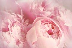 Κινηματογράφηση σε πρώτο πλάνο των peony λουλουδιών Στοκ Φωτογραφία