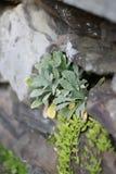 Κινηματογράφηση σε πρώτο πλάνο των Succulent εγκαταστάσεων που αυξάνονται από την τρύπα στον τοίχο βράχου τούβλου Στοκ Φωτογραφία