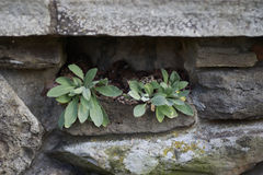 Κινηματογράφηση σε πρώτο πλάνο των Succulent εγκαταστάσεων που αυξάνονται από την τρύπα στον τοίχο βράχου τούβλου Στοκ Φωτογραφίες
