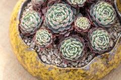 Κινηματογράφηση σε πρώτο πλάνο των succulent εγκαταστάσεων στοκ εικόνα