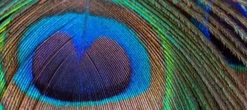 Κινηματογράφηση σε πρώτο πλάνο φτερών Peacock, μακροεντολή Στοκ Εικόνες
