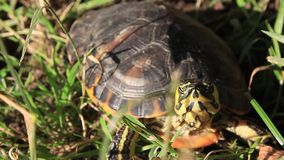 Κινηματογράφηση σε πρώτο πλάνο χελωνών απόθεμα βίντεο