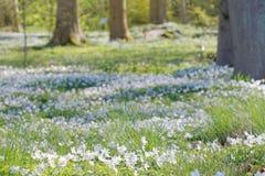 Κινηματογράφηση σε πρώτο πλάνο χιλιάδων ξύλινο anemone στο δάσος οξιών Στοκ Εικόνες