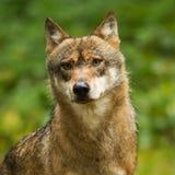 Κινηματογράφηση σε πρώτο πλάνο λύκων στοκ φωτογραφίες με δικαίωμα ελεύθερης χρήσης